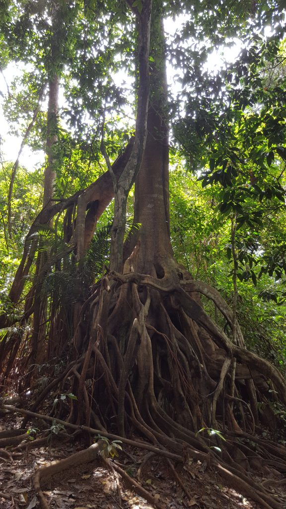 Huge tangled roots on the way to Latah Berkoh