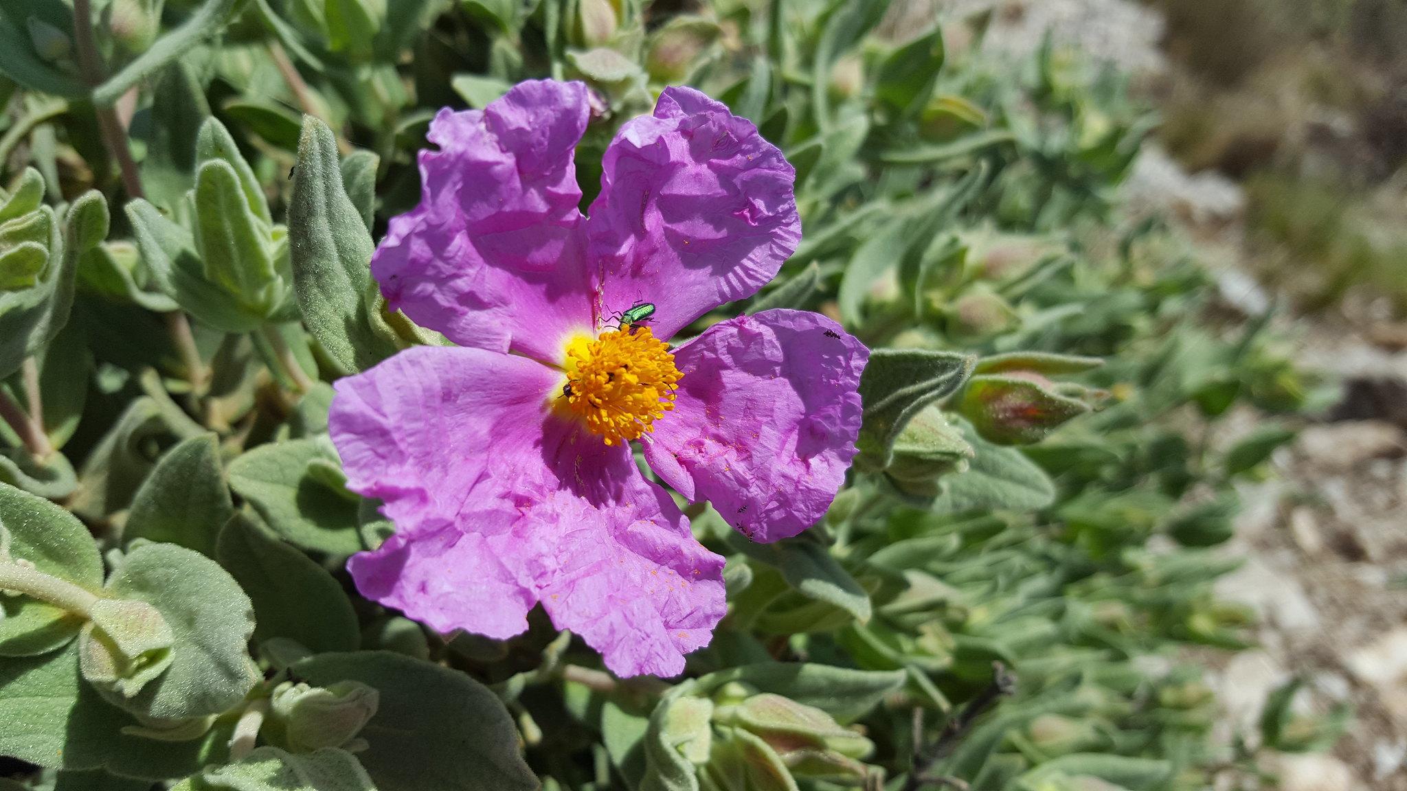 Flores mediterráneas en los alrededores del Puig Campana