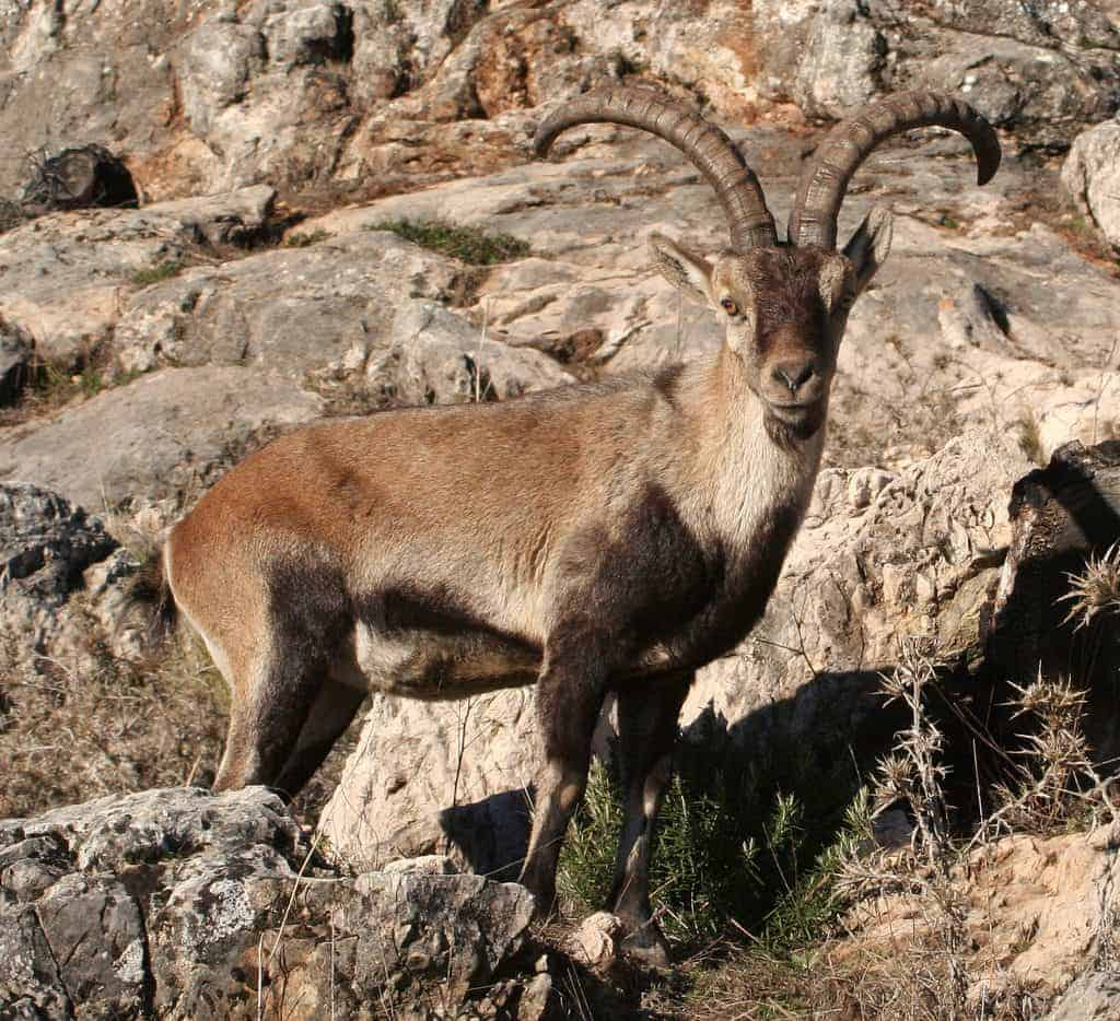 Una cabra montesa típica de las que puedes ver en el Monte Ponoig