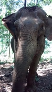 Princess is probably the most lovely elephant Mondulkiri