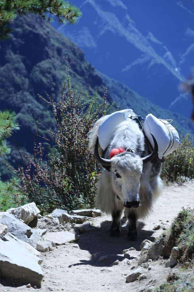 Yaks as the means of transporting the goods