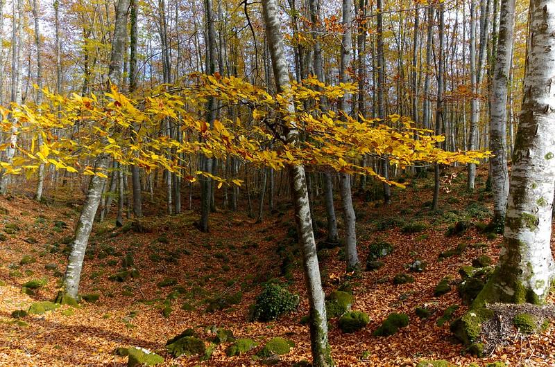 Bosque Fageda d'en Jordà  cataluña