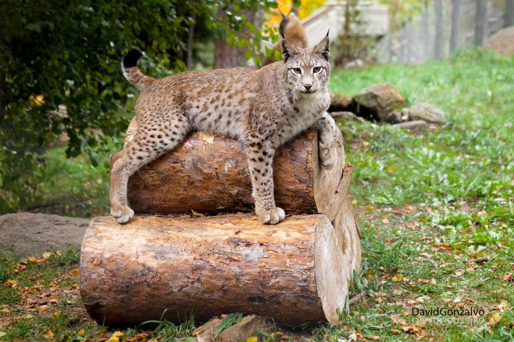 Iberian lynx animals in danger of extinction in Spain