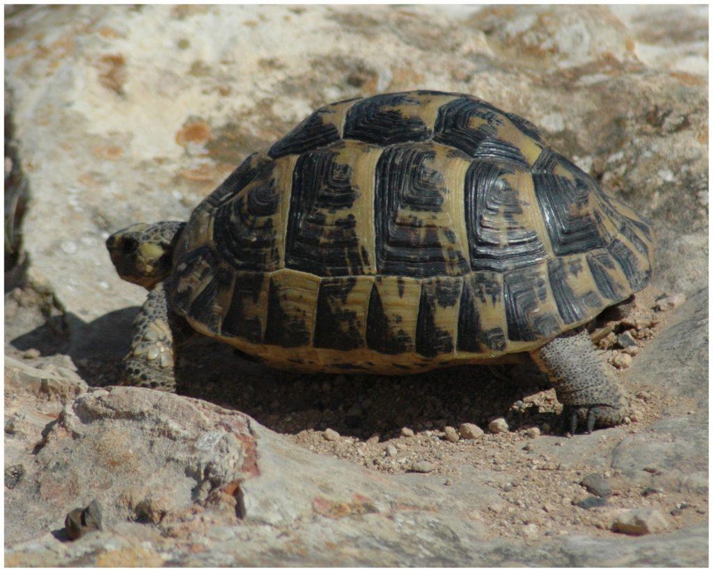 Tortuga mora animales en peligro de extinción en España