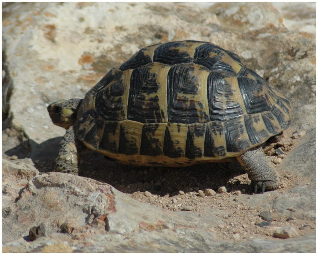 Greek tortoise endangered animals in Spain